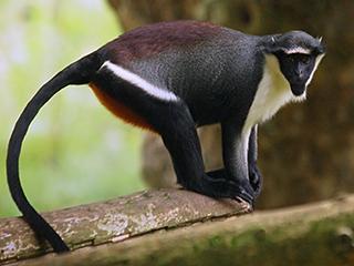 number of colobus monkey in ethiopia pdf