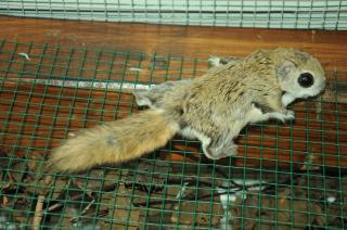 gleithörnchen kaufen