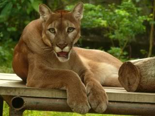 Cougar Seine Et Marne