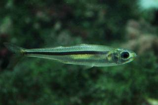 ährenfisch